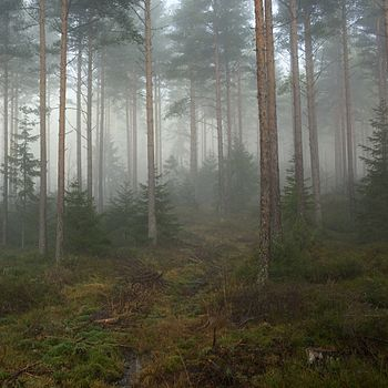 Fog in a forest, Telemark 1.jpg