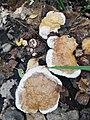 Fomitopsis pinicola 94986443.jpg
