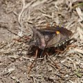 Forest Bug (Pentatoma rufipes) (9550845254).jpg