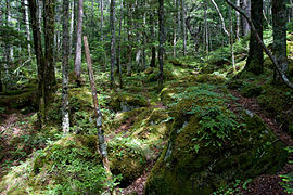 Forest in Yatsugatake 04.jpg