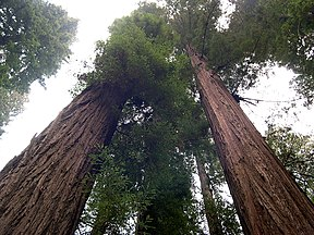 Founders Grove, Humboldt Redwoods State Park - Coast Redwood (Sequoia sempervirens) - Flickr - Jay Sturner.jpg