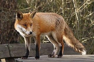 PREDATOR - The Red Fox 320px-Fox_009