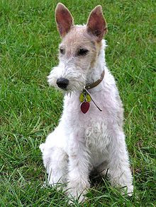 Fox-terrier à poil dur.