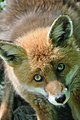 Fox get me out of here eyes (5751742737).jpg