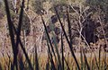 Fraser island swamp habitat - panoramio.jpg