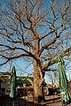 Fraxinus excelsior Vienna.jpg