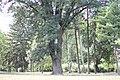 Fraxinus ornus - Crni jasen (8)3223.jpg