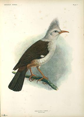Hopfstar (Fregilupus varius) Illustration John Gerrard Keulemans, aus Extinct Birds, 1907