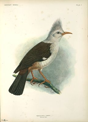 Hopfstar (Fregilupus varius) Illustration John Gerrard Keulemans, aus Extinct Birds, 1907