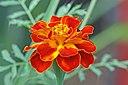 French marigold Tagetes patula