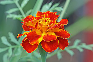 Tagetes patula - Image: French marigold Tagetes patula