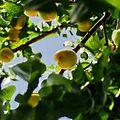 Fresh Apricot.jpg