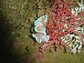 Frilled nudibranch at Steenbras Deep DSC09845.JPG