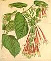 Fuchsia fulgens.jpg