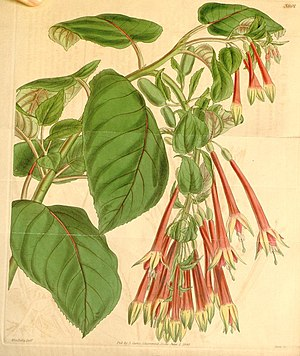 Fuchsia fulgens, Illustration