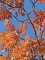 Fulles de Servera (Sorbus domestica) a la tardor.jpg