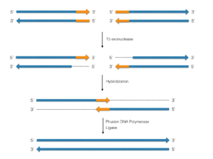 Synthetic genomics - Gibson assembly method. The blue arrows represent DNA cassettes, which could be any size, 6 kb each for example. The orange segments represent areas of identical DNA sequences. This process can be carried out with multiple initial cassettes.
