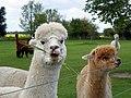 GOC The Pelhams 085 Alpacas (Vicugna pacos) (28201010731).jpg