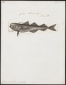 Gadus saida - 1788 - Print - Iconographia Zoologica - Special Collections University of Amsterdam - UBA01 IZ14000101.tif
