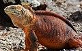 Galápagos land iguana (4201794181).jpg