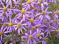Galatella angustissima (flowers) 1.jpg