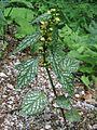 Galeobdolon argentatum PID1714-1.jpg