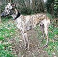 Galgo-spanish-brindle-2.jpg