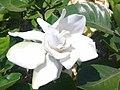 Gardenia jasminoides flower.jpg