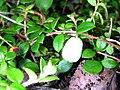 Gaultheria hispidula 5 (5097305809).jpg