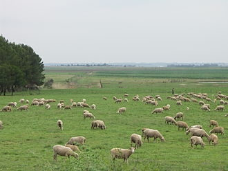 Agriculture in South Africa - Sheep farm in Gauteng