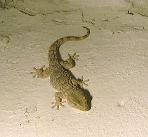 Tarentola mauritanica - Image: Gecko Greece