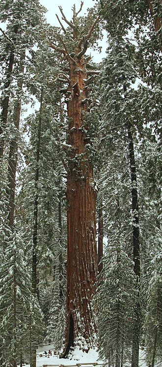 General Sherman (tree) - The General Sherman in winter.