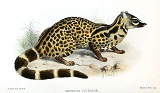 Giant forest genet species of mammal