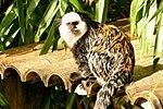 Geoffroy's Marmoset - Newquay Zoo (15515357632).jpg