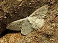 Geometer Moth (33537463621).jpg