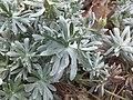 Geranium argenteum Viote 01.jpg