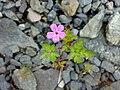 Geranium robertianum 09.jpg