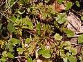 Geranium robertianum 2021-04-28 6108.jpg