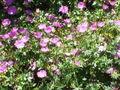 Geranium sanguineum2.jpg