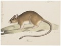 Gerbillus indicus - 1700-1880 - Print - Iconographia Zoologica - Special Collections University of Amsterdam - UBA01 IZ20500177.tif
