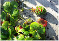 Germinations sur fraises.jpg