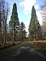 Giant Sequoia - Rhinefield Ornamental Drive. - geograph.org.uk - 344054.jpg