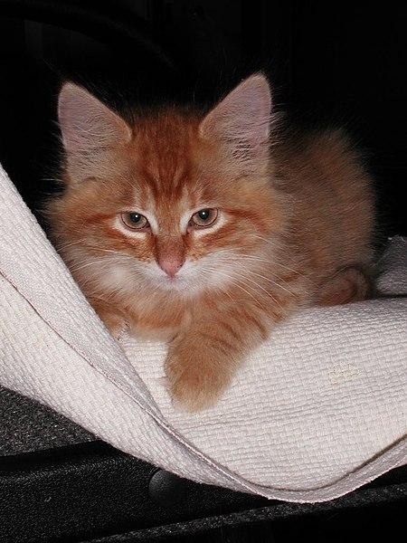 Avis sur l 39 ge de ce chaton forum sur les chats - Enlever les puces sur un chaton ...