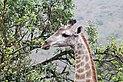 Giraffe in Zulu Nyala Reserve 04.jpg