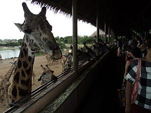Safari World - Feeding the giraffes
