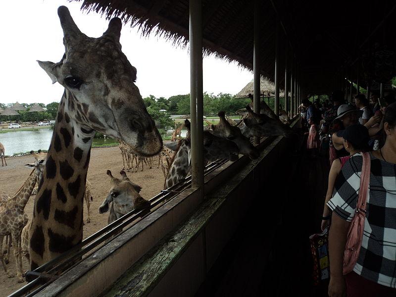File:Giraffes- safari- bangkok.JPG