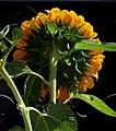 Girasol (Helianthus annuus) - Flickr - Alejandro Bayer (13).jpg