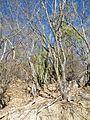 Glandulicereus thurberi (5761255268).jpg