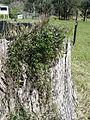 Glycine clandestina plant11 (15099722428).jpg