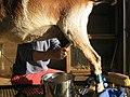 Goat Milking.jpg